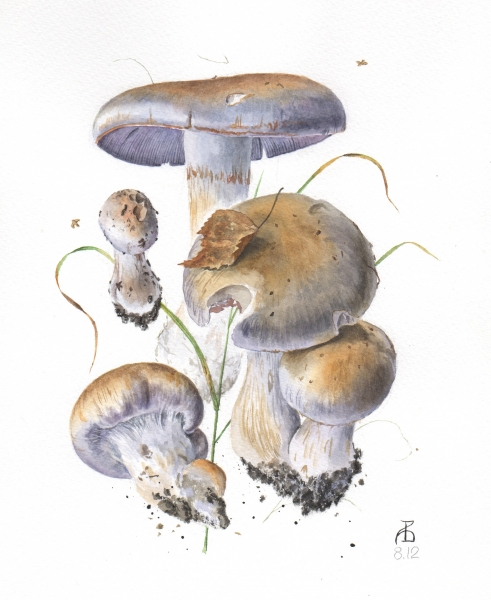 Cortinarius sp 8.12